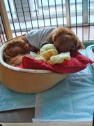 インディのおうち。ベッドにもぐるようにして眠ります
