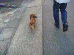 いつもダッシュのウェンちゃん。 ちゃんとパパの左を歩いてママは感動!
