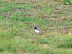 白黒模様の鳥さん。 たくさん飛んでるところは撮れなかった